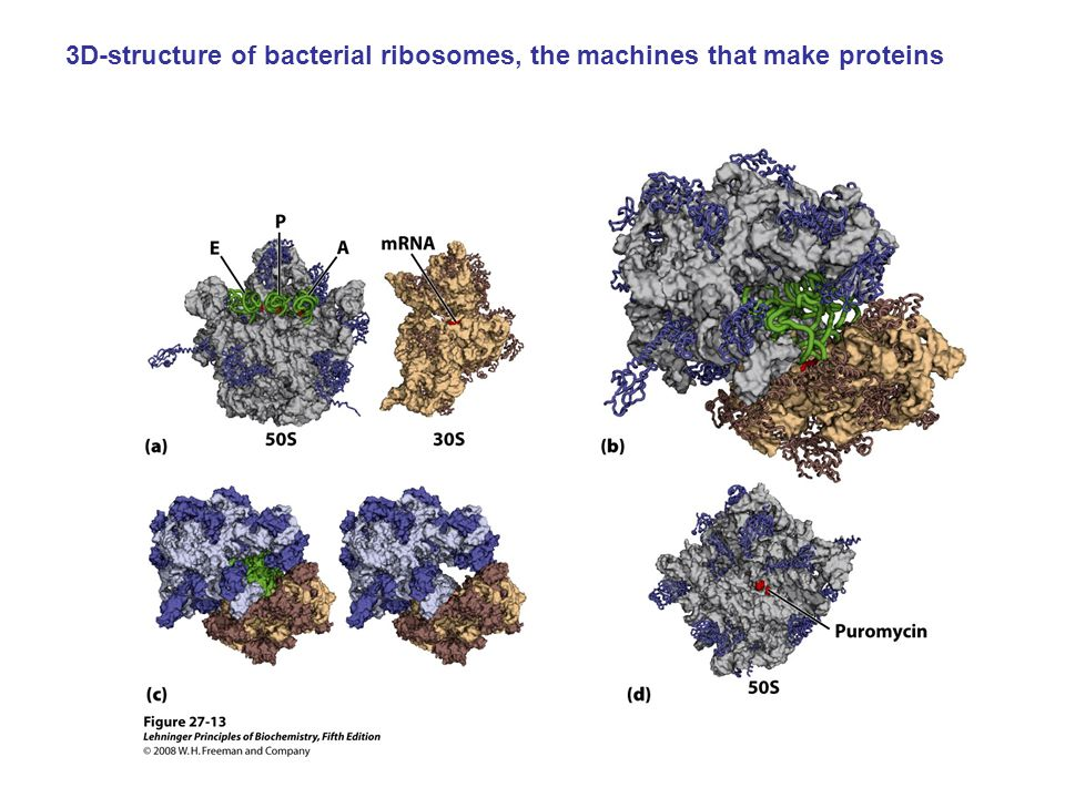 3D-structure of bacterial ribosomes, the machines that make proteins