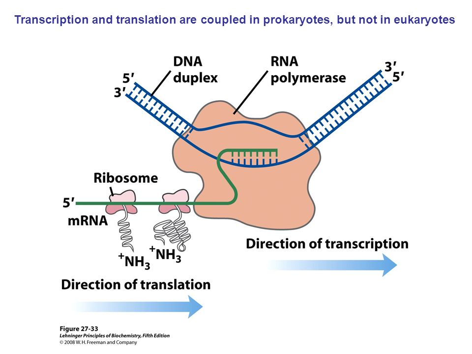 Transcription and translation are coupled in prokaryotes, but not in eukaryotes