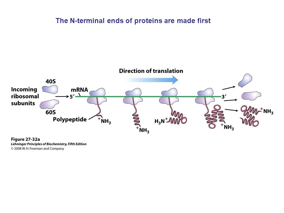 The N-terminal ends of proteins are made first