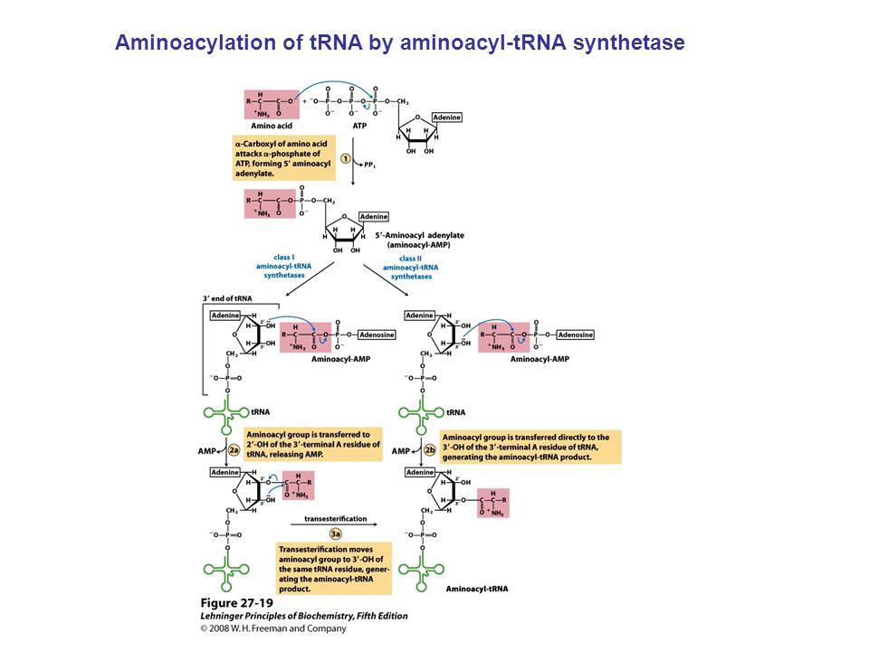Aminoacylation of tRNA by aminoacyl-tRNA synthetase