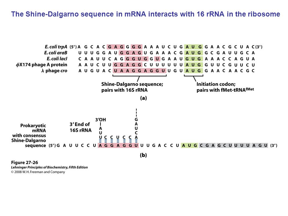 The Shine-Dalgarno sequence in mRNA interacts with 16 rRNA in the ribosome