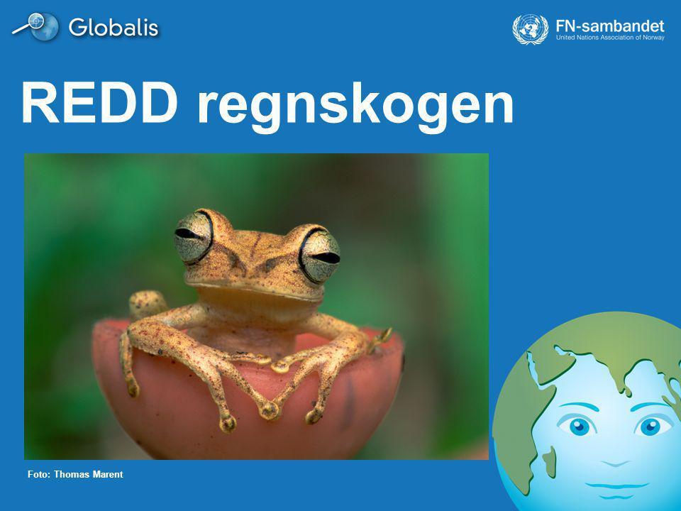 REDD regnskogen Ønsker du mer informasjon enn det som står i notatfeltet i denne presentasjonen, bruk nettstedet www.globalis.no/regnskog.