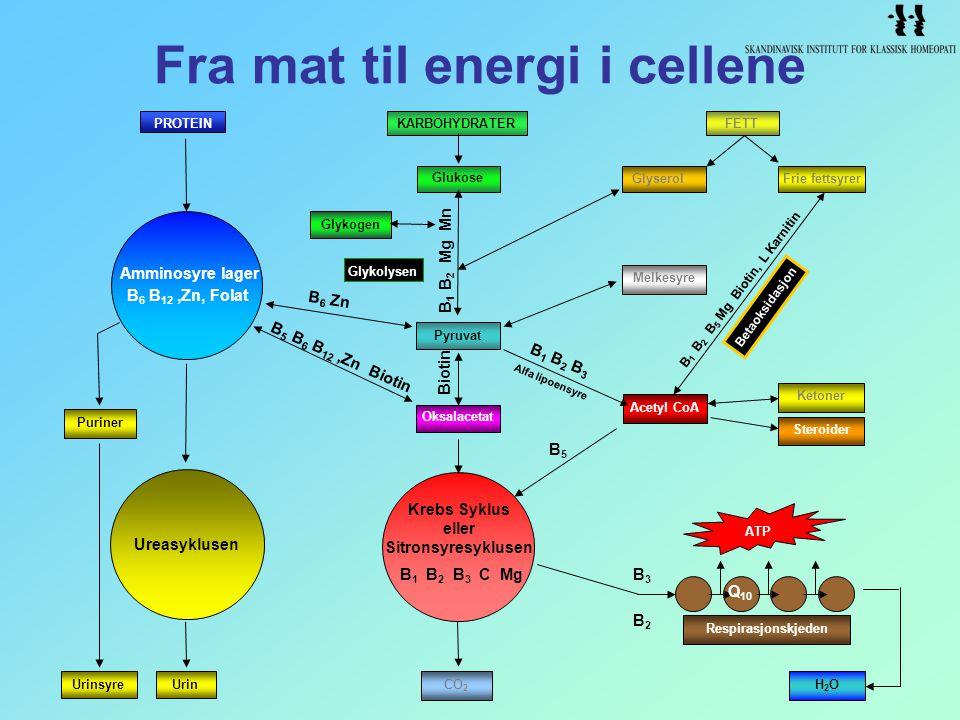 Fra mat til energi i cellene