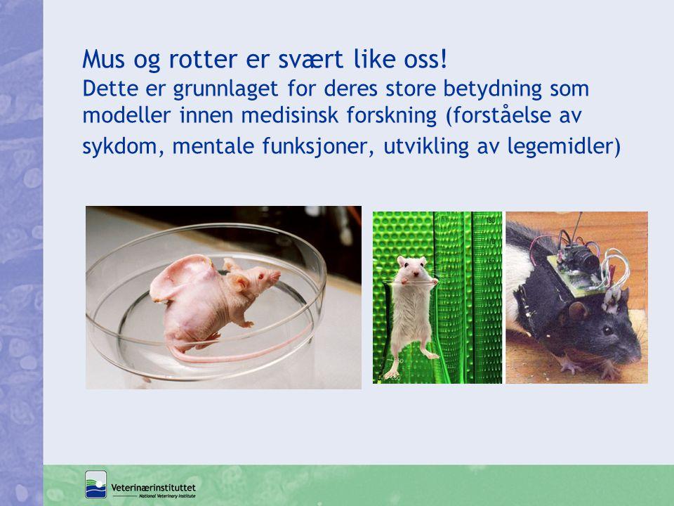 Mus og rotter er svært like oss