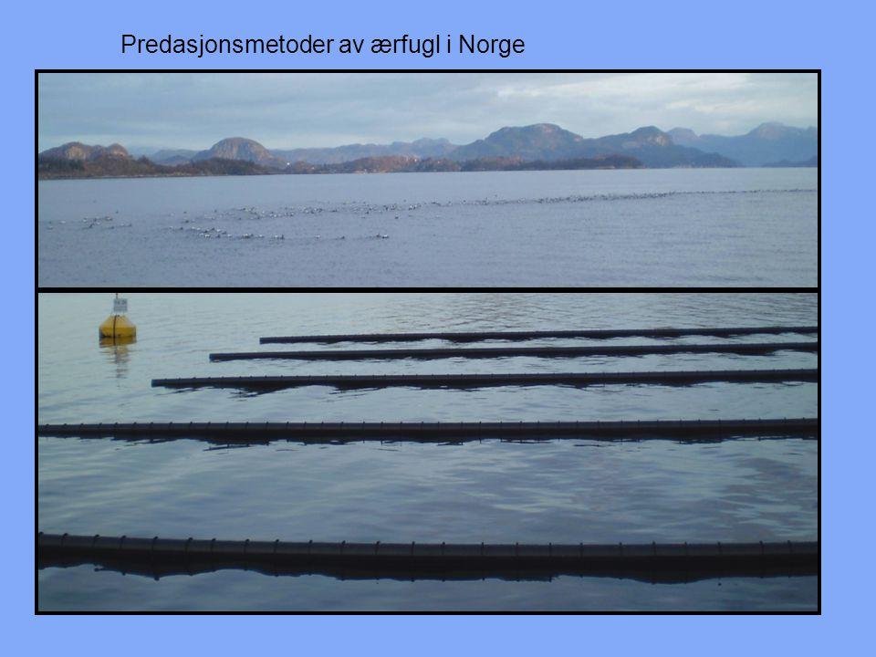 Predasjonsmetoder av ærfugl i Norge
