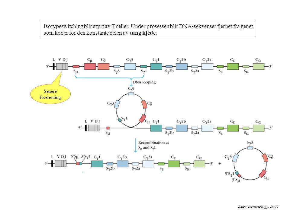 Isotypeswitching blir styrt av T celler