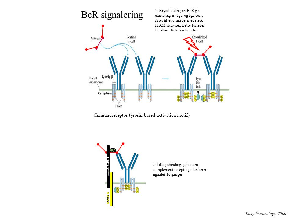 BcR signalering (Immunoreceptor tyrosin-based activation motif)