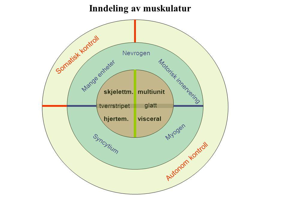 Inndeling av muskulatur