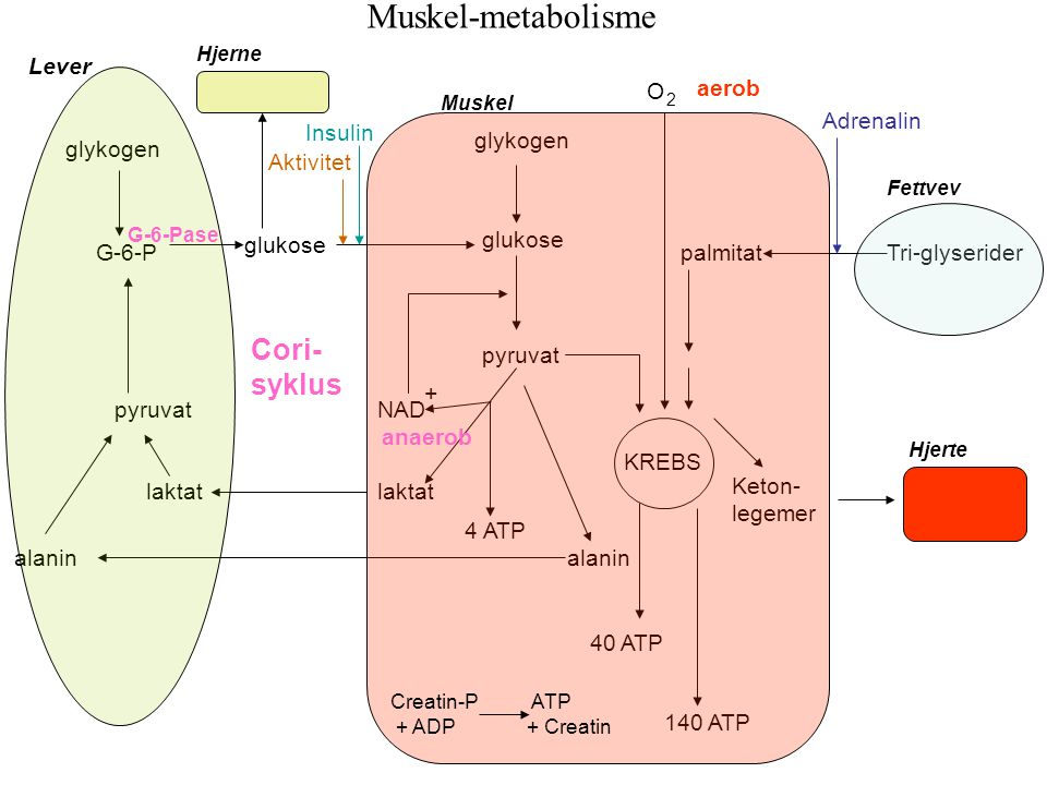 Muskel-metabolisme Cori- syklus Lever O aerob Adrenalin Insulin
