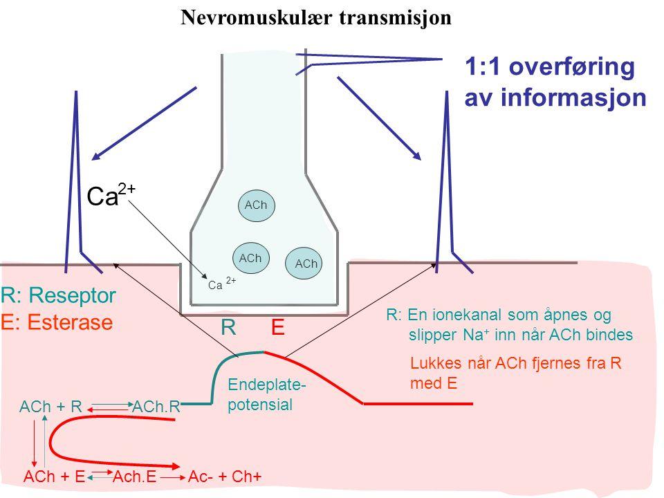 1:1 overføring av informasjon Ca Nevromuskulær transmisjon R: Reseptor