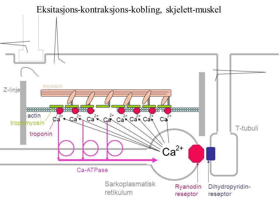 Ca Eksitasjons-kontraksjons-kobling, skjelett-muskel T-tubuli 2+