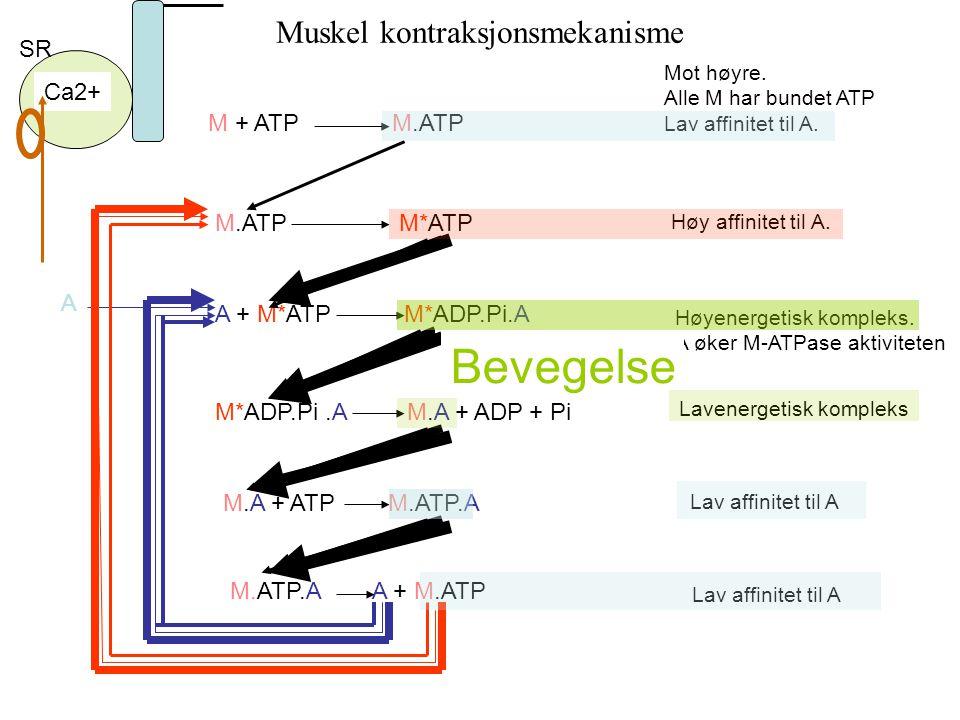 Bevegelse Bevegelse Muskel kontraksjonsmekanisme Bevegelse SR Ca2+