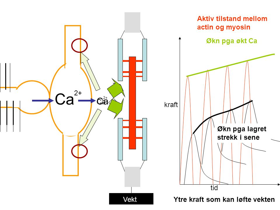 Ca Ca Aktiv tilstand mellom actin og myosin Økn pga økt Ca 2+ Ca kraft