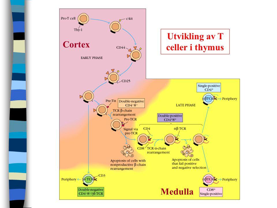 Utvikling av T celler i thymus