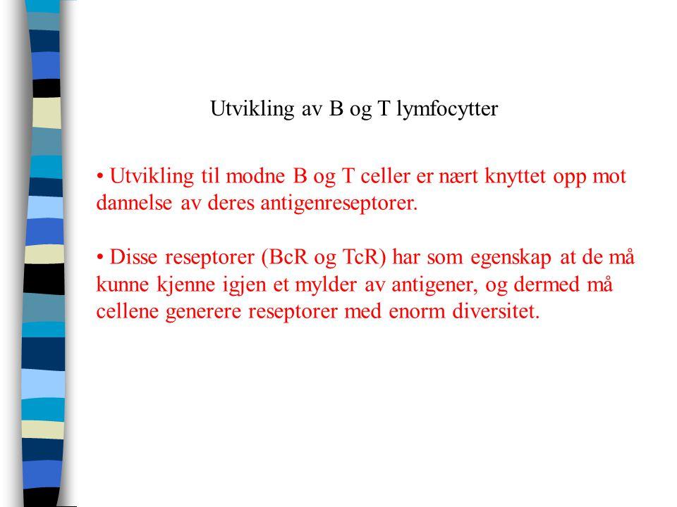 Utvikling av B og T lymfocytter