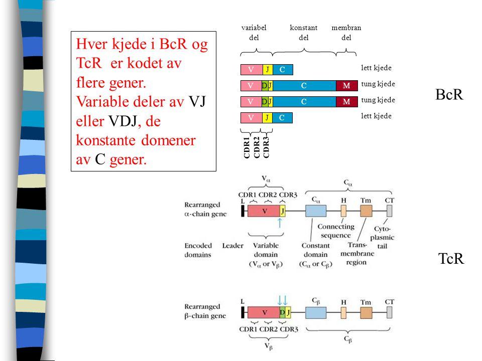 Hver kjede i BcR og TcR er kodet av flere gener.