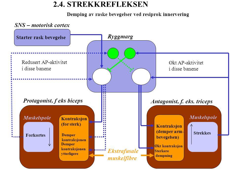 Demping av raske bevegelser ved resiprok innervering