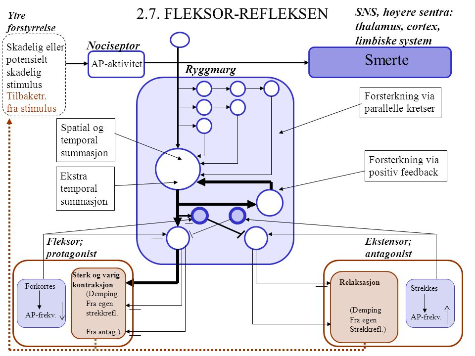 2.7. FLEKSOR-REFLEKSEN Smerte SNS, høyere sentra: thalamus, cortex,