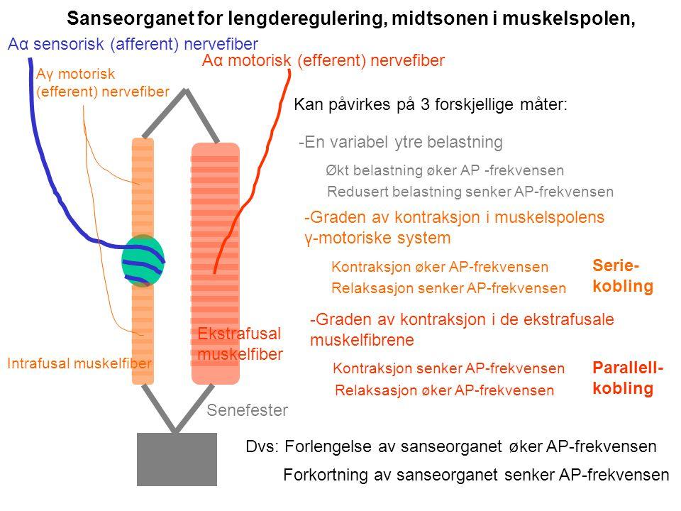 Sanseorganet for lengderegulering, midtsonen i muskelspolen,
