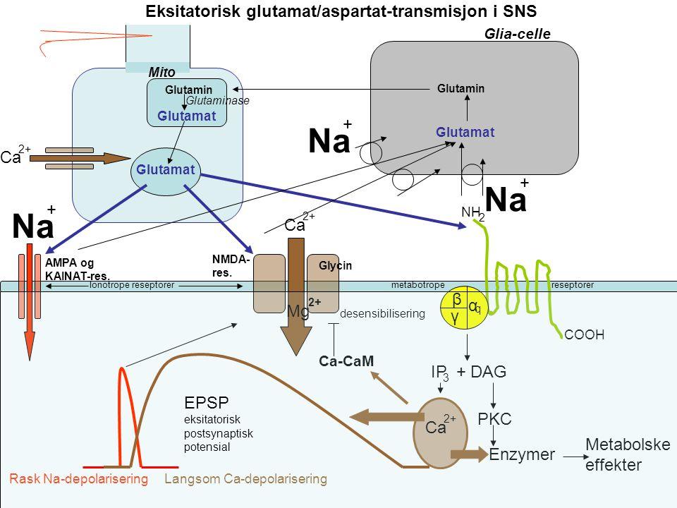 Na Na Na Eksitatorisk glutamat/aspartat-transmisjon i SNS + Ca + + Ca