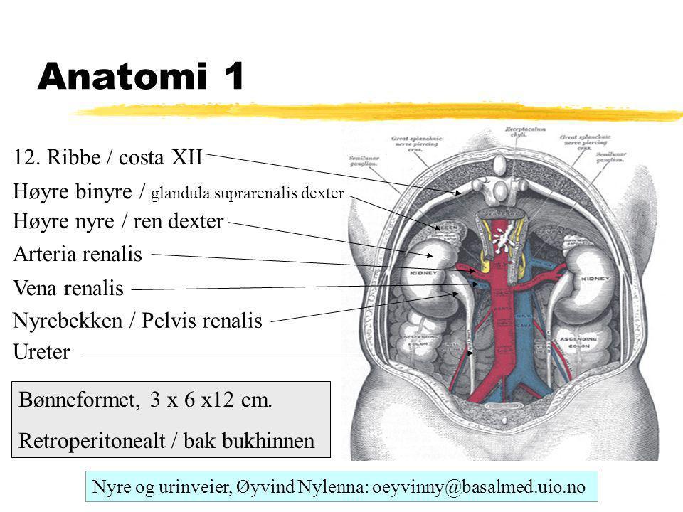 Anatomi 1 12. Ribbe / costa XII
