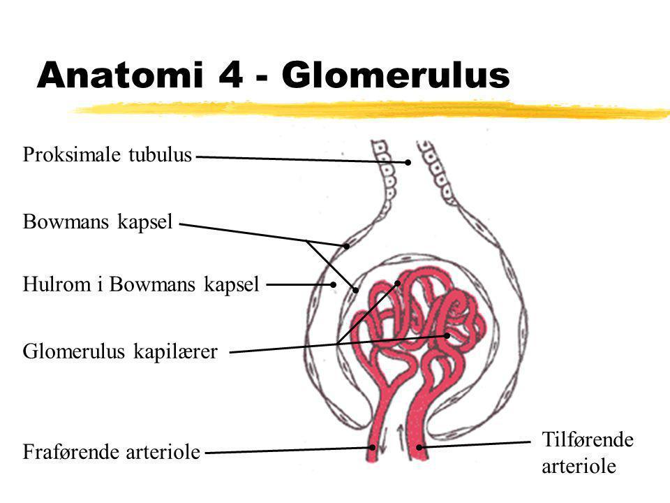 Anatomi 4 - Glomerulus Proksimale tubulus Bowmans kapsel