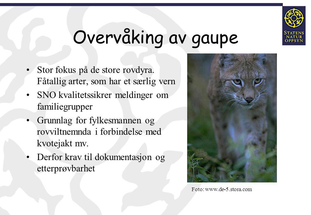 Overvåking av gaupe Stor fokus på de store rovdyra. Fåtallig arter, som har et særlig vern. SNO kvalitetssikrer meldinger om familiegrupper.