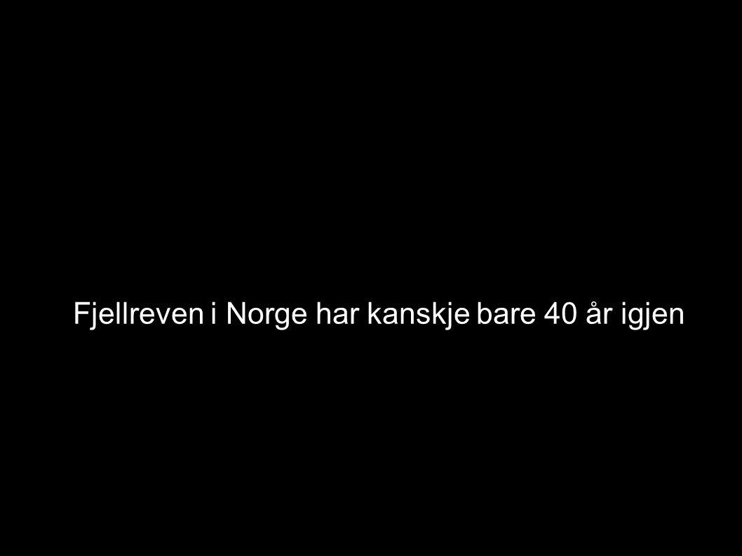 Fjellreven i Norge har kanskje bare 40 år igjen