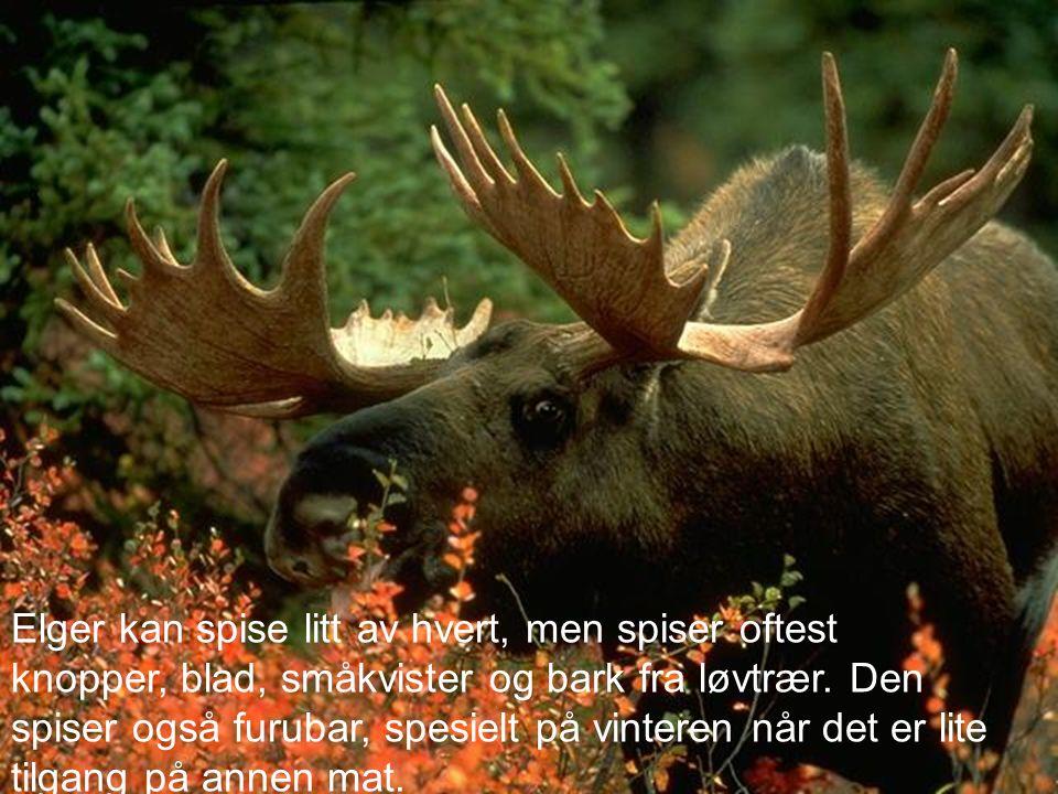 Elger kan spise litt av hvert, men spiser oftest knopper, blad, småkvister og bark fra løvtrær.
