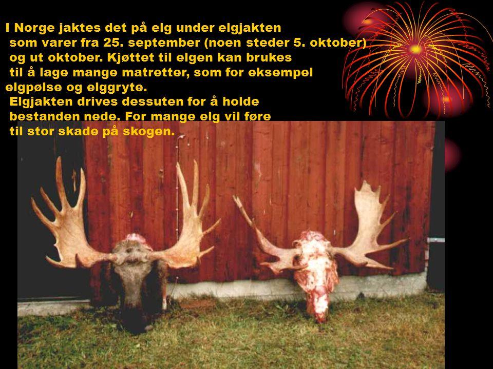 I Norge jaktes det på elg under elgjakten