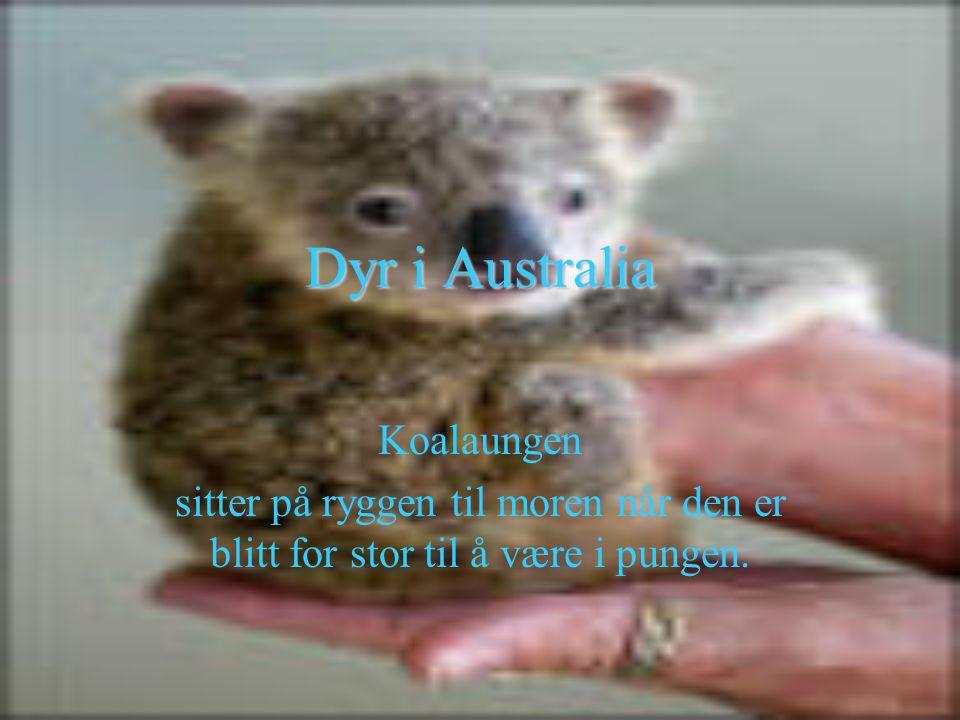Dyr i Australia Koalaungen