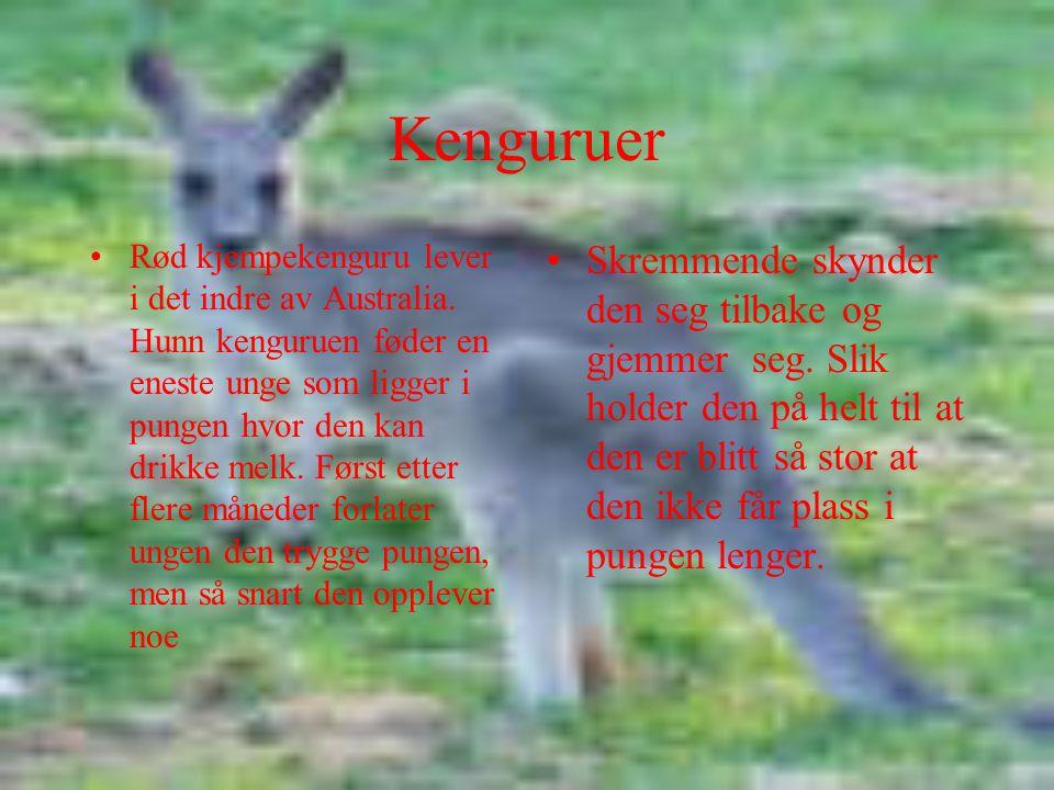Kenguruer