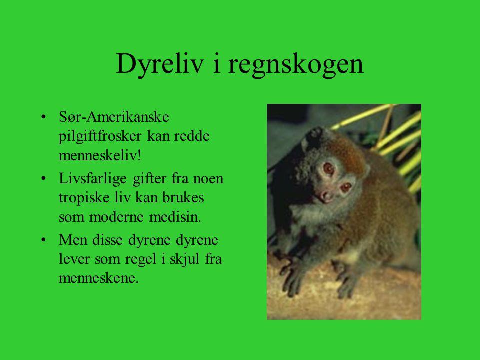 Dyreliv i regnskogen Sør-Amerikanske pilgiftfrosker kan redde menneskeliv! Livsfarlige gifter fra noen tropiske liv kan brukes som moderne medisin.