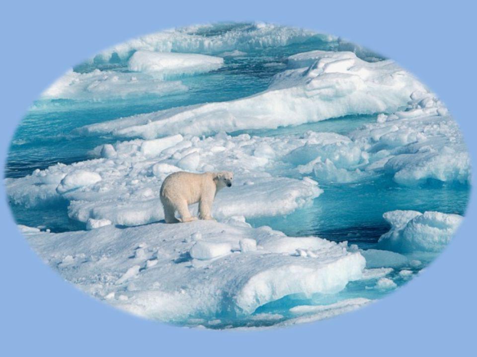 Isbreene smelter  Isbjørnene mister sitt leveområde, smelter bort.  De er store og tunge, kan ikke svømme lenge, DRUNKER.