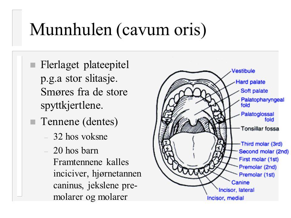 Munnhulen (cavum oris)