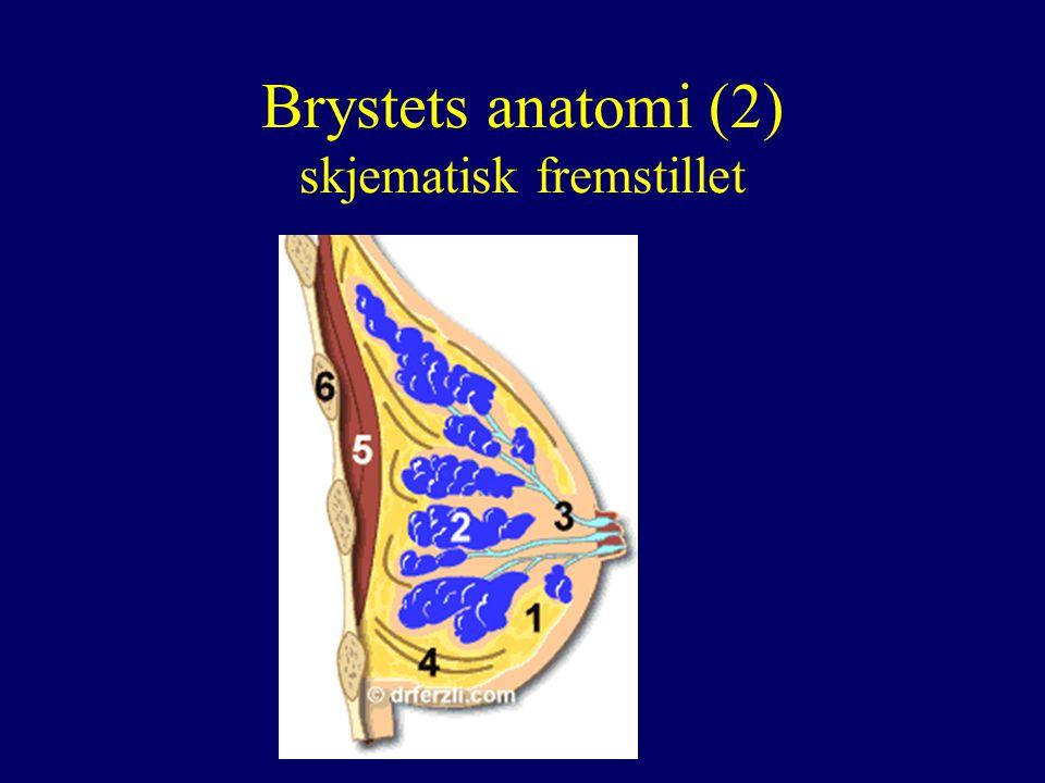 Brystets anatomi (2) skjematisk fremstillet