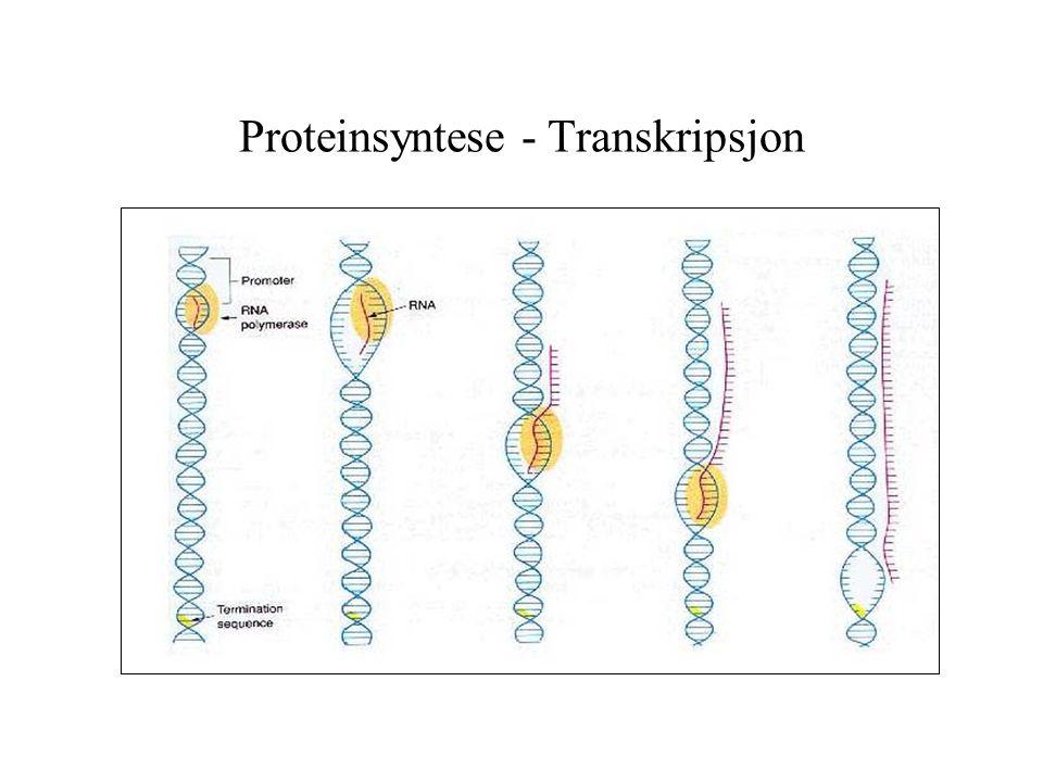Proteinsyntese - Transkripsjon