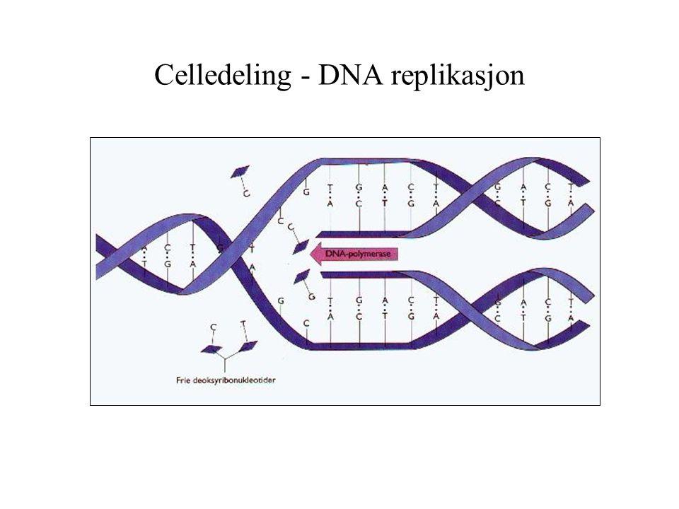 Celledeling - DNA replikasjon