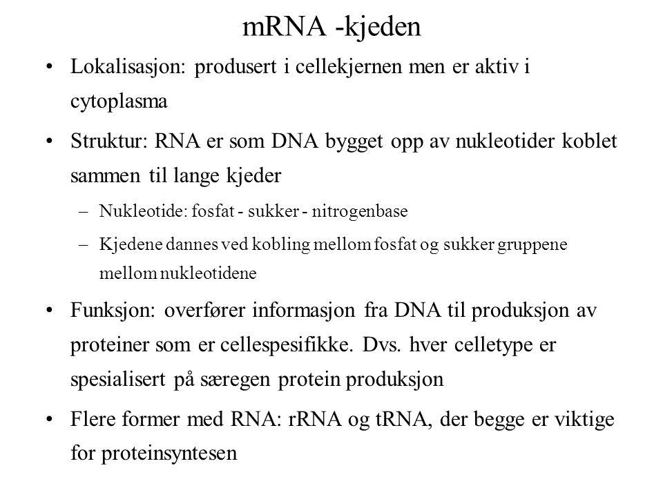mRNA -kjeden Lokalisasjon: produsert i cellekjernen men er aktiv i cytoplasma.