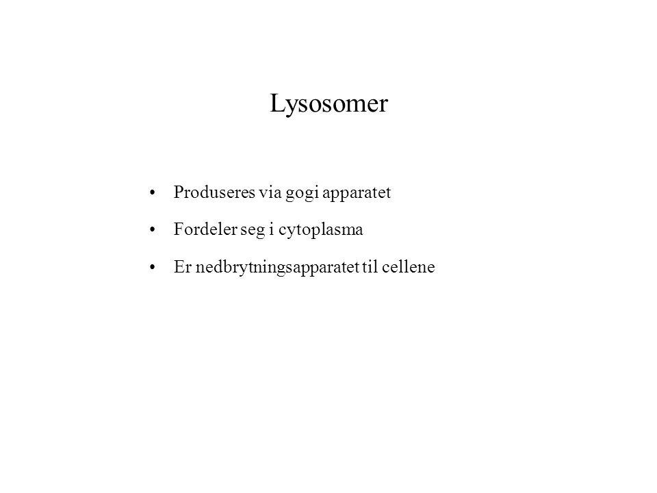 Lysosomer Produseres via gogi apparatet Fordeler seg i cytoplasma