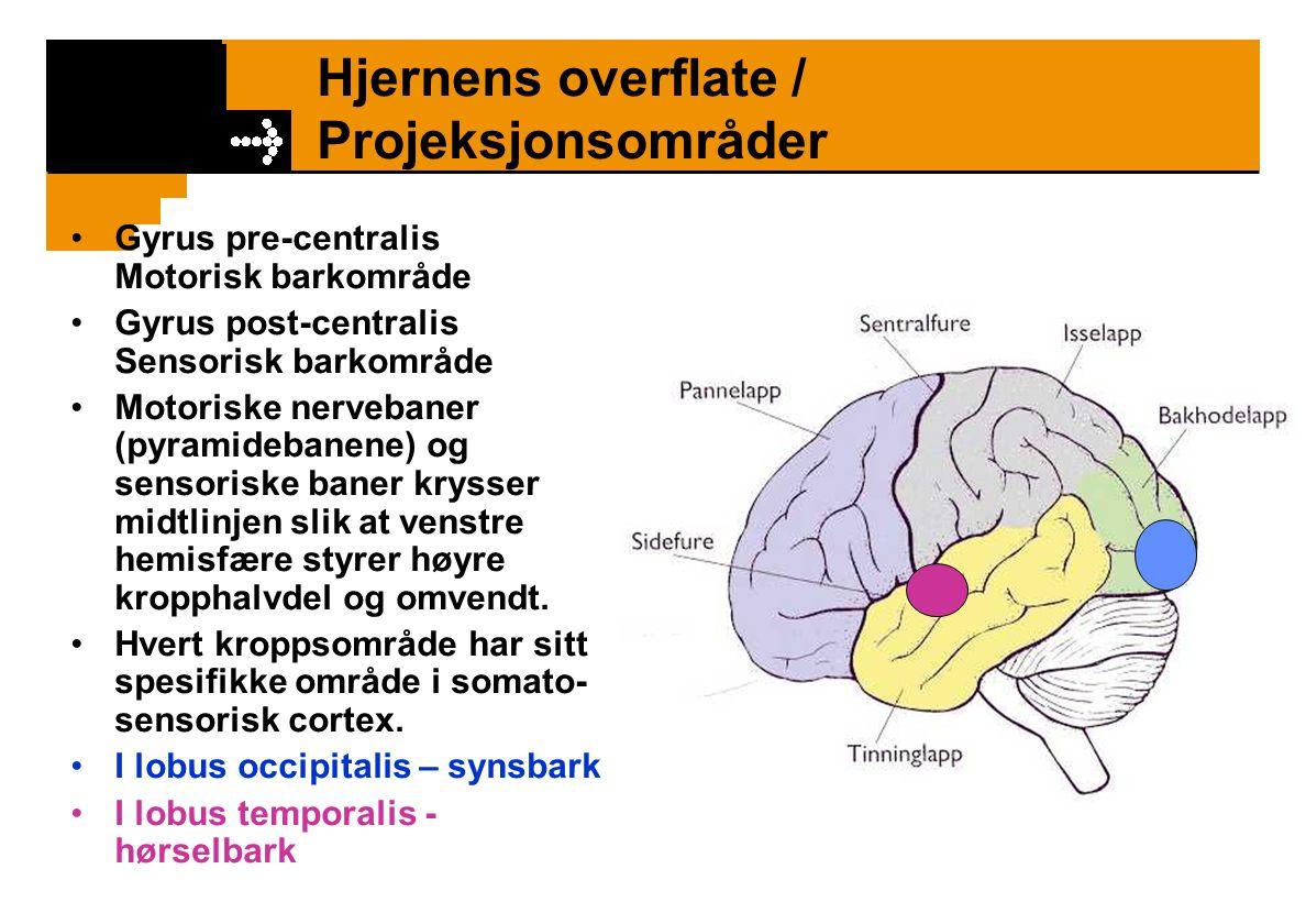 Hjernens overflate / Projeksjonsområder