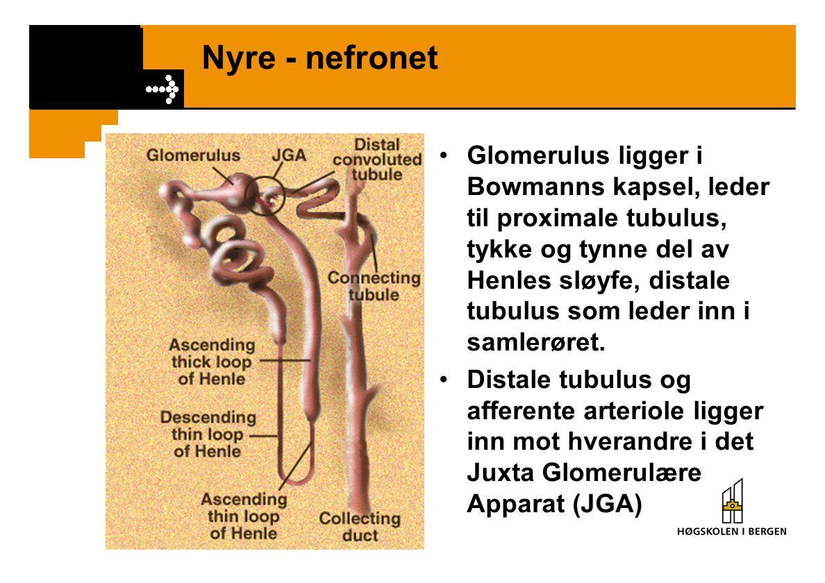 Nyre - nefronet