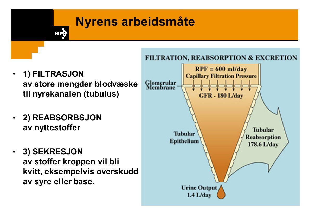 Nyrens arbeidsmåte 1) FILTRASJON av store mengder blodvæske til nyrekanalen (tubulus)