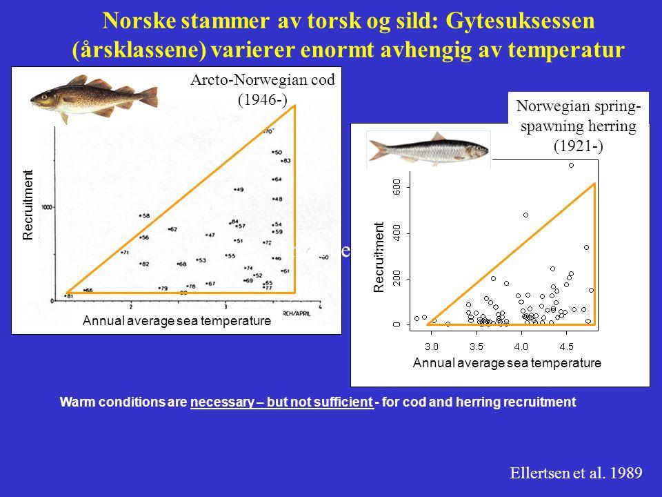 Norske stammer av torsk og sild: Gytesuksessen (årsklassene) varierer enormt avhengig av temperatur