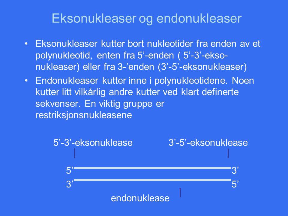 Eksonukleaser og endonukleaser