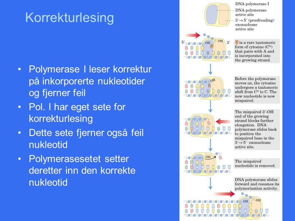 Korrekturlesing Polymerase I leser korrektur på inkorporerte nukleotider og fjerner feil. Pol. I har eget sete for korrekturlesing.