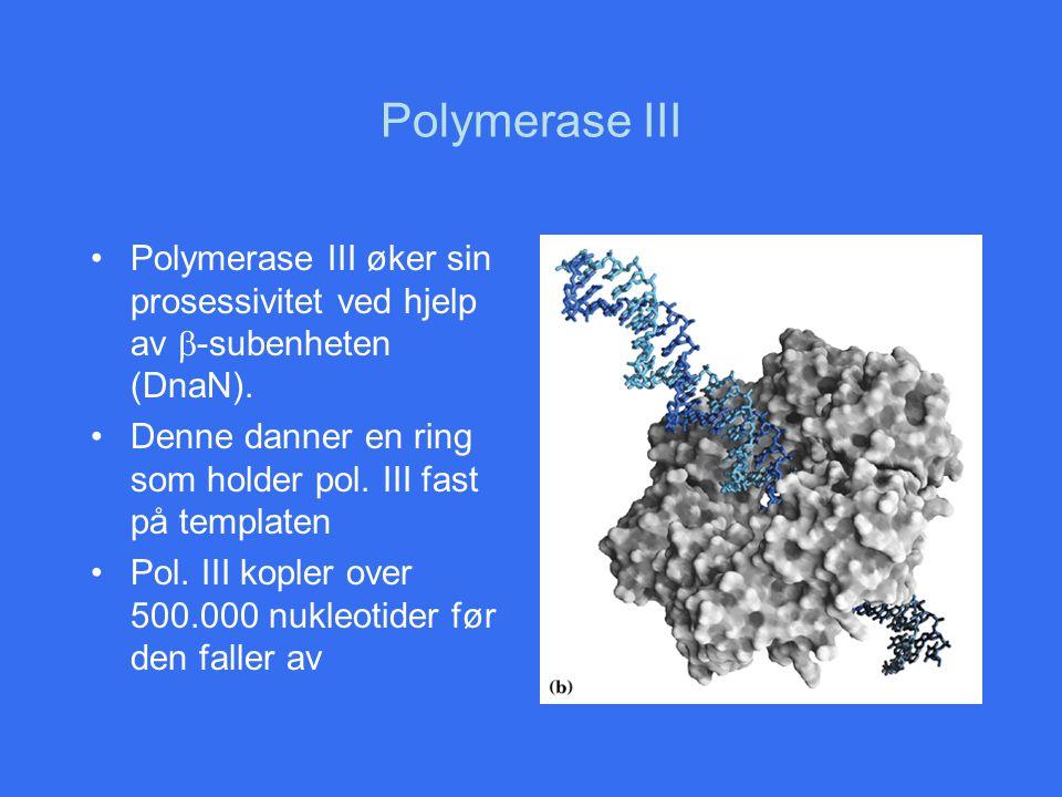 Polymerase III Polymerase III øker sin prosessivitet ved hjelp av b-subenheten (DnaN). Denne danner en ring som holder pol. III fast på templaten.