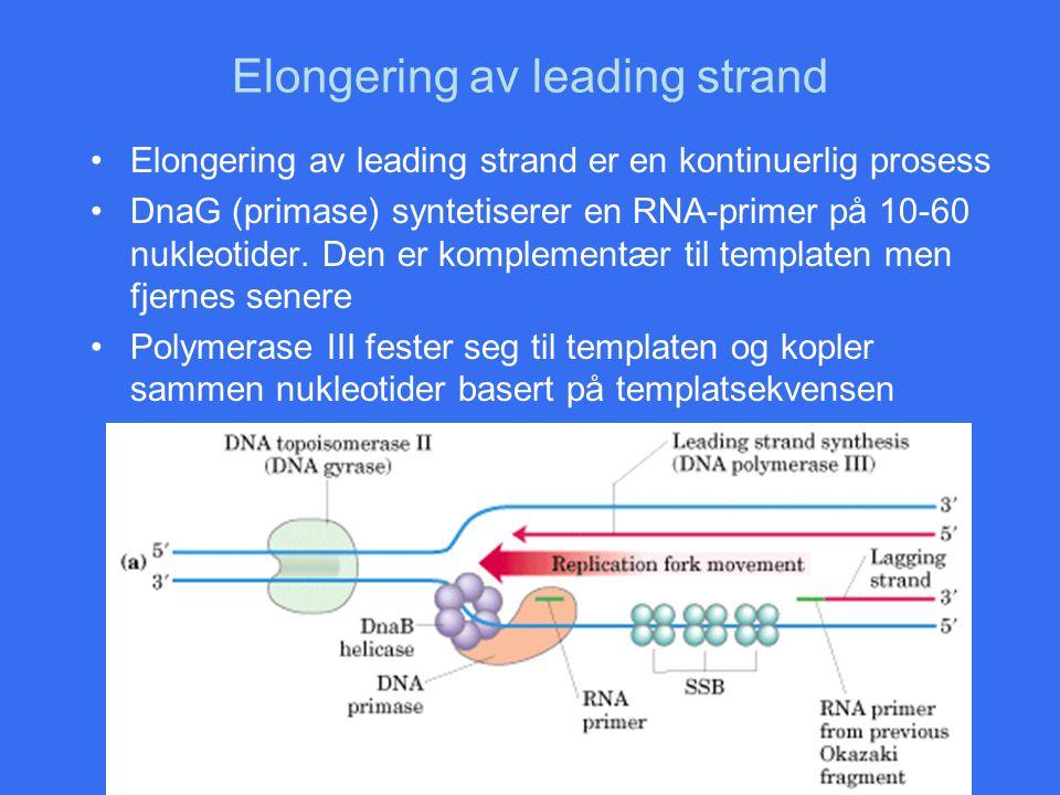 Elongering av leading strand