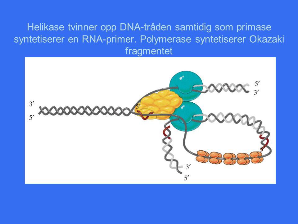 Helikase tvinner opp DNA-tråden samtidig som primase syntetiserer en RNA-primer.