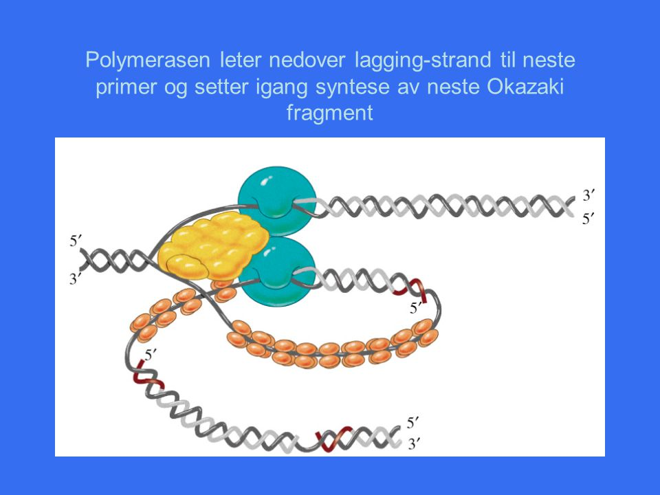 Polymerasen leter nedover lagging-strand til neste primer og setter igang syntese av neste Okazaki fragment